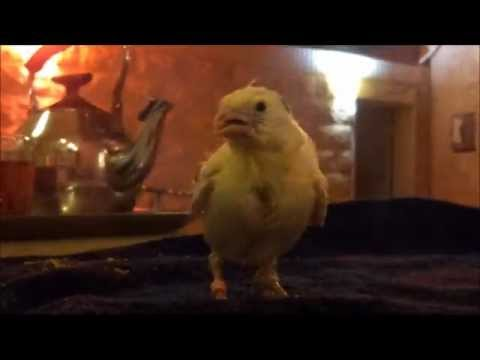 CanaryVLOGS - ترويض الكناري كناري اليف ربوة - Canary Tame baby start bird - canaries