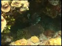 climate change: Sea Invaders: Lion Fish spreading in USA