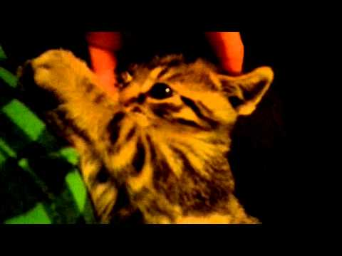 Little kitten Molik. CUTE. Lovely. Playing with hand)))) Котенок Молик Лапочка!)))))