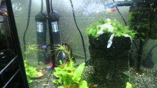 Tank of hungry Tetras