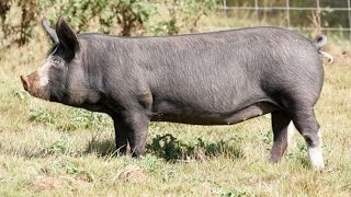 All pig breeds list from A to Z
