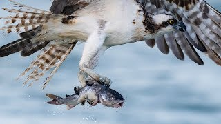 Nikon D850 - Sony A9 - Best Bird Photography Day to Date - Incredible Osprey Close-ups