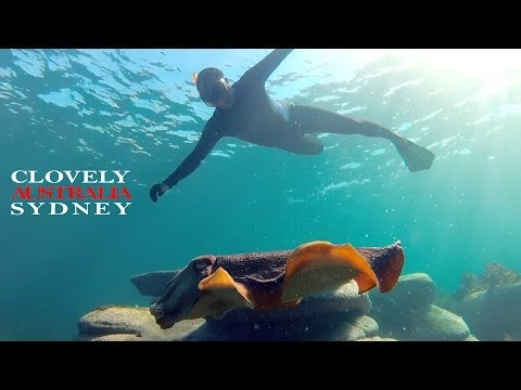 Sydney  Snorkeling At Clovelly With Shark, Cuttlefish, Gropers And Stingray   Marcelo As Guest