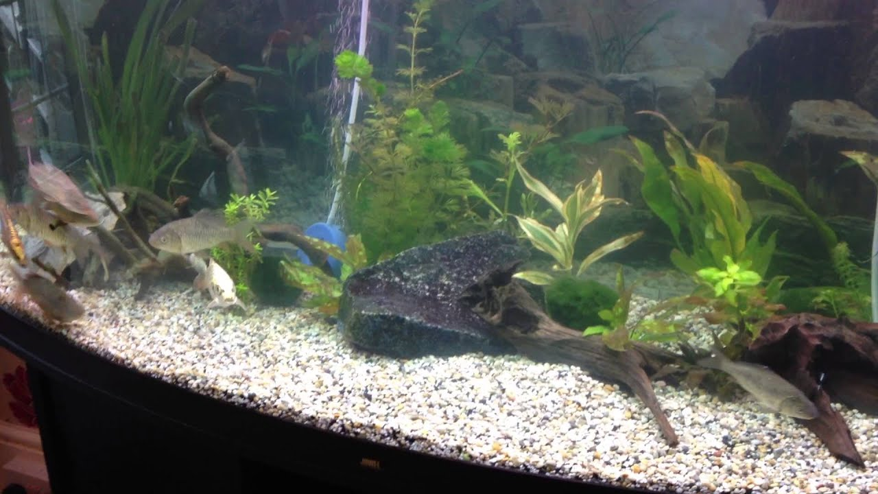 Native uk species aquarium carp tench youtube for Carp in a fish tank