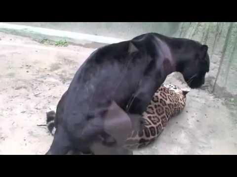 pantera negra abusando de tigre
