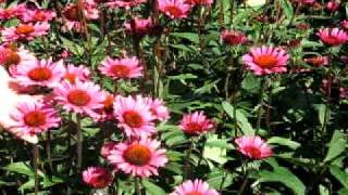 VF Echinacea Fatal Attraction