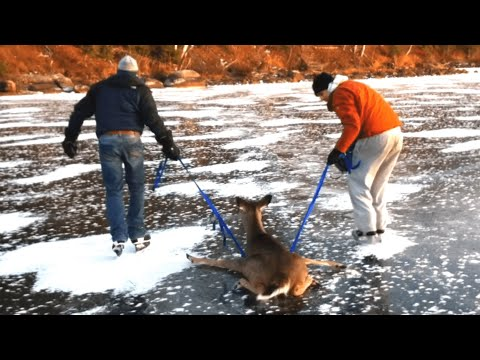 Bambi on Ice - Deer gets rescued from frozen lake