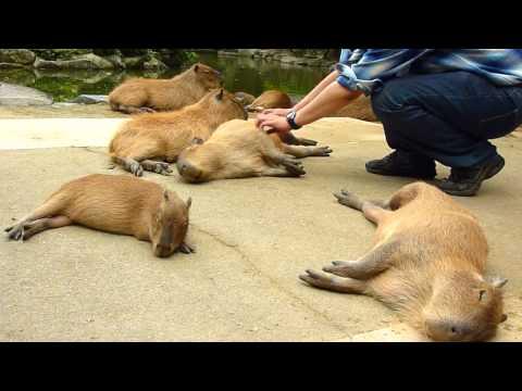 カピバラを連続ヘブン状態に (Scratching many capybaras)