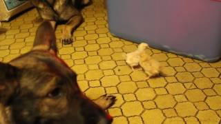 Real Life | Dog's first chicken encounter | Solid K9 Training Dog Training