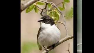 Голоса птиц-Мухоловка-пеструшка (Muscicapa hypoleuca)
