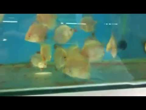 Young discus fish hand feeding