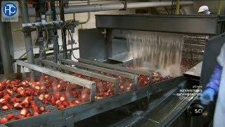 Qui trình thu hoạch – chế biến trái dâu tây và trái đào – thcgroup.vn