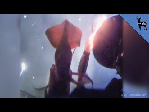 Jumbo Squid Angrily Attacks Greenpeace Submarine