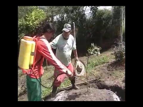 vivero de aguacates como sembrar un arbol de aguacates para la nueva era