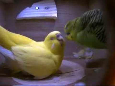 fardaad - Felfel (Budgie) Lays fourth egg