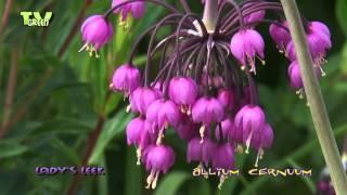 Flora View - Allium cernuum - sierui - Amerikaanse look - lady's leek