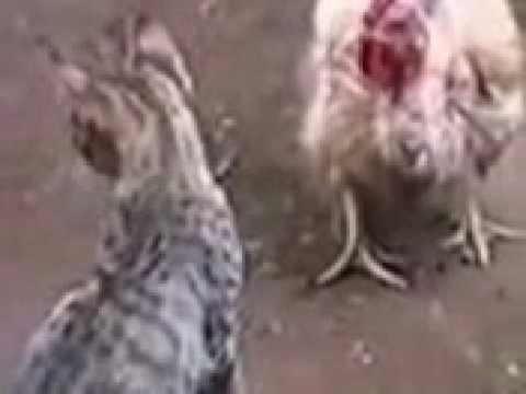 Galinha vs Gato! (luta)