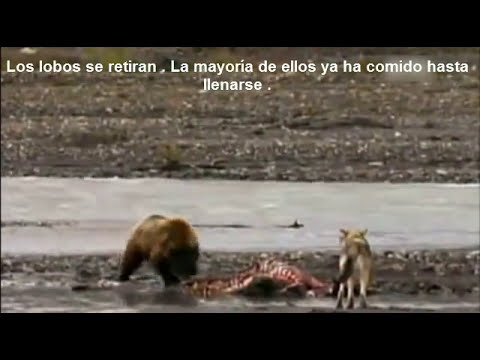 Naturaleza Salvaje - Lucha Animal : Lobos Vs Oso / Wild Nature - Animal fight : Wolves Vs Grizzly