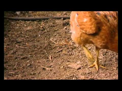 Shamba Shape Up - Improving a Hen House Thumbnail