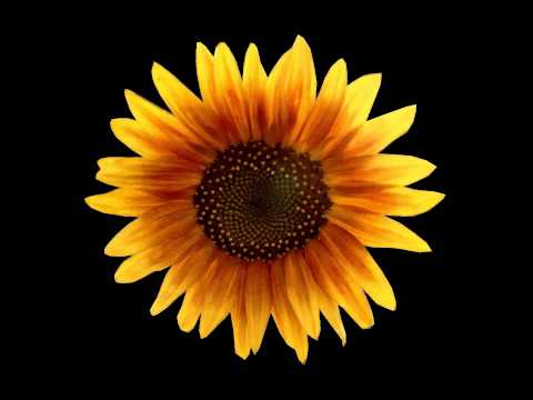 Sunflower Oil Health Benefits