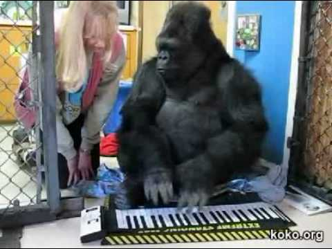 Koko plays an electronic keyboard