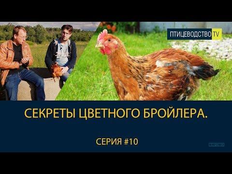 ЦВЕТНОЙ БРОЙЛЕР (КУРЫ) SASSO 451: наш опыт инкубации яиц и содержания этих кур