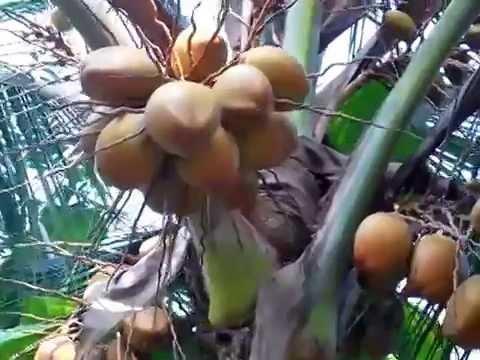 Hybrite Coconut Tree