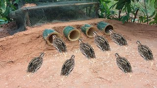 Awesome Quick Bird Trap Using Bamboo Palm Wine & Net That Work 100%