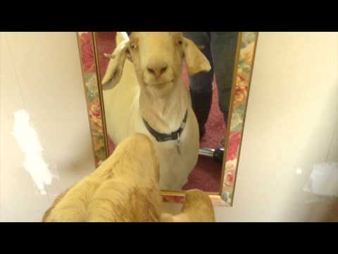 Watch This Goat Confront Her Own Existence