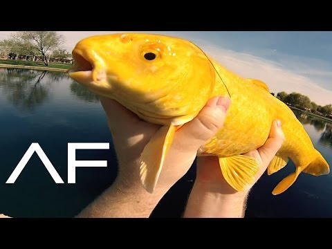 Koi And Tilapia Fishing