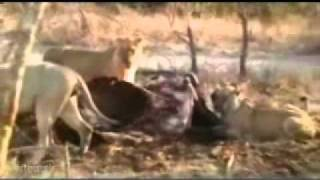 2010 Clips - Wildearth - Safari Channel