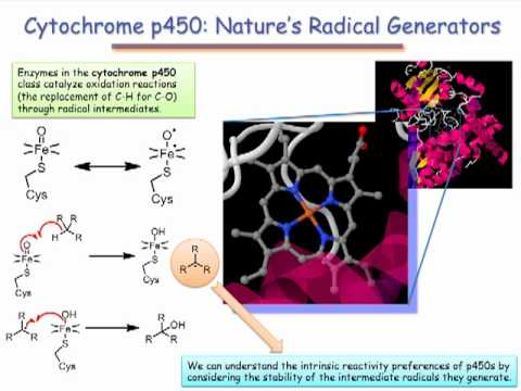 cytochrome p450 steroid hormone biosynthesis