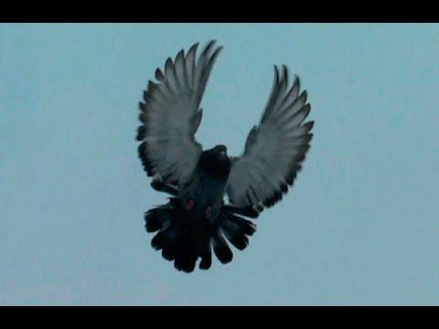 николаевские торцовые голуби Красноармейска(الحمام )