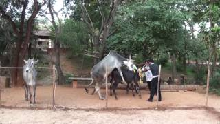 Cow Mating