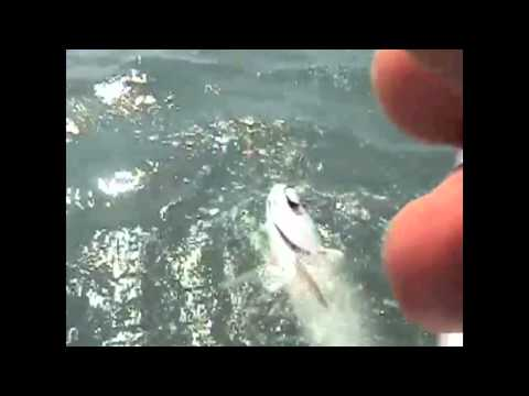 Tarpon Fishing and Shark Attacks Fly Florida Keys!