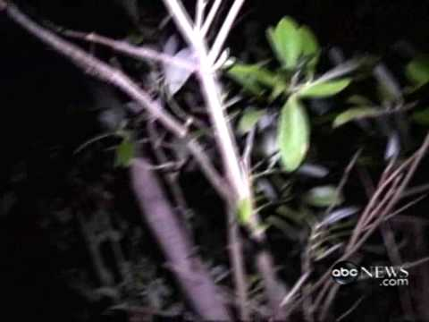 Frozen Iguanas Falling From Trees Video