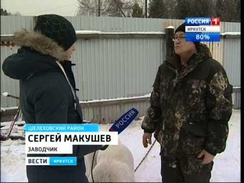 Лучших в мире алабаев разводят в Шелеховском районе, Вести-Иркуск
