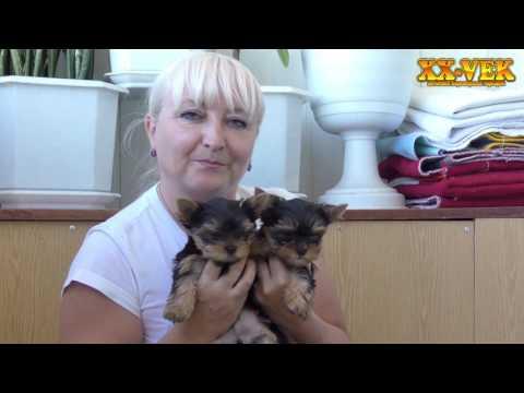 перевод на сушку и вес щенка - Йоркширский терьер