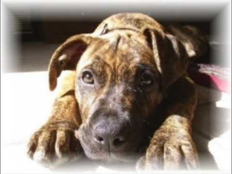 Pit Bulls - Their Sad Story - It Ends Tonight