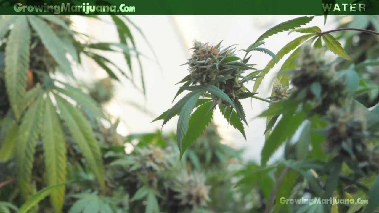 Growing Weed In Your Backyard :  Marijuana Plants  How Much Water To Give Growing Weed  11  YouTube