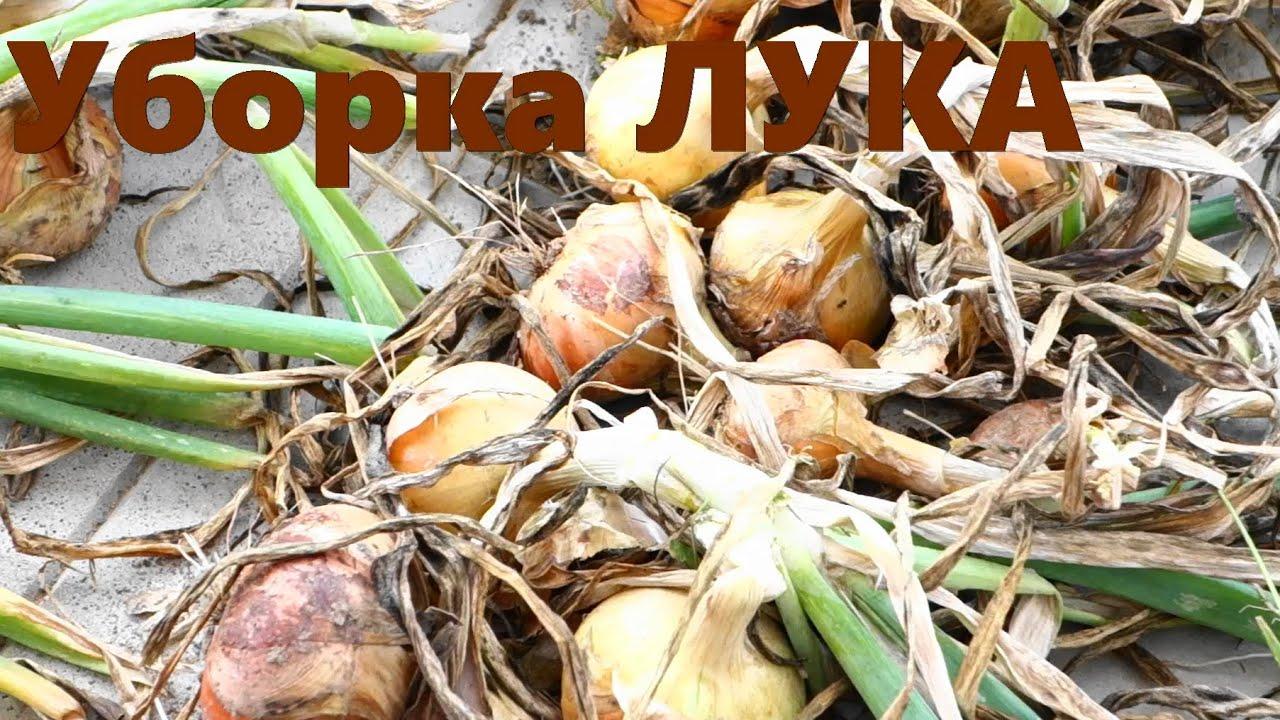Как подготовить лук к хранению в домашних условиях Сад и огород 8