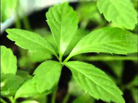Jiaogulan Herb Benefits
