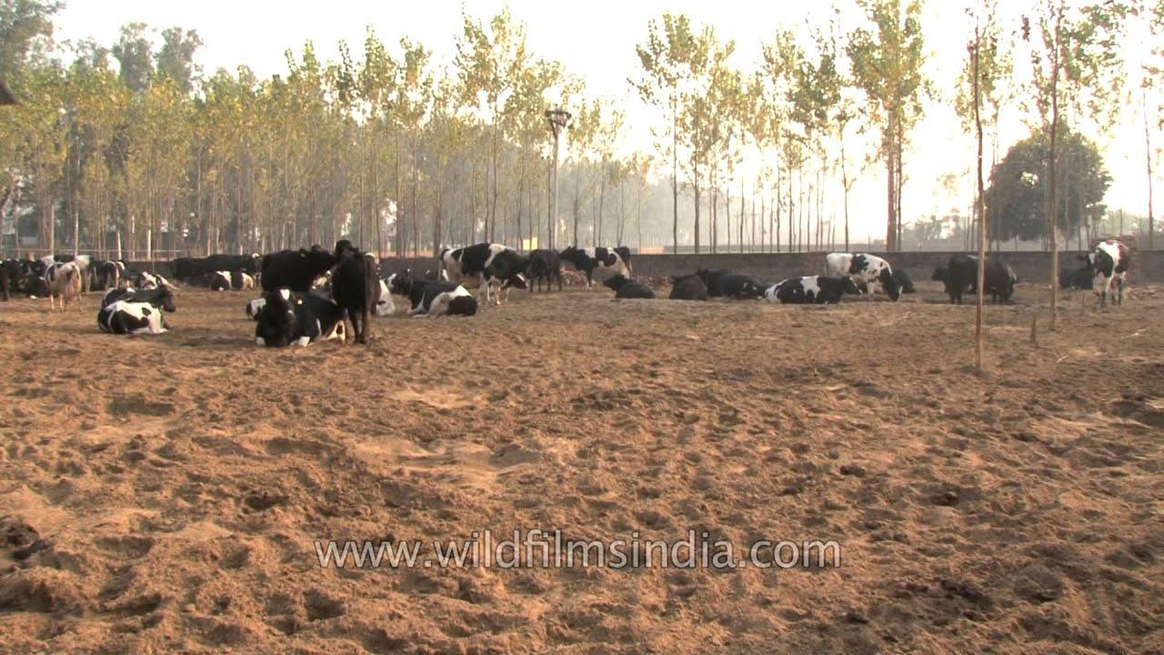Dairy Farming in Punjab Dairy Cattle Farm Punjab