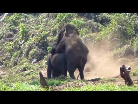 Wild Elephants Having Sex in Thailand