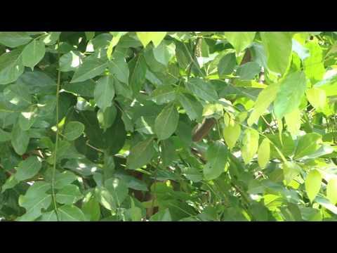 Medicinal Species beneficial for Akarkara Cultivation. Part-27 © Pankaj Oudhia