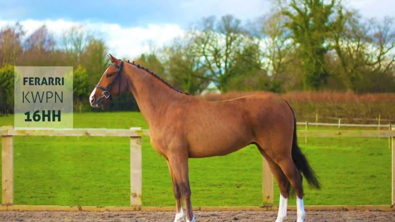 Ferrari Horse Breed Meet Ferrari Breed Kwpn