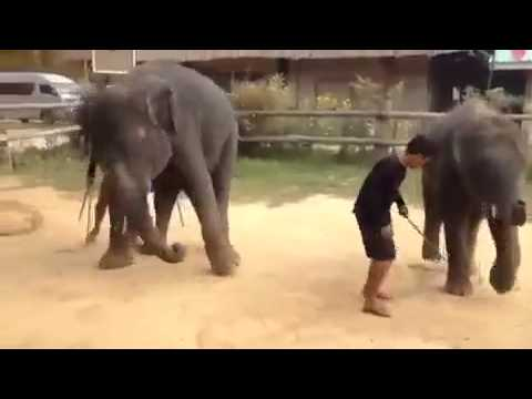 Open Gangnam Style Song Dance By Elephant Funny Vi video
