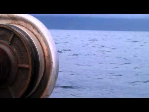 Minke whale jumping
