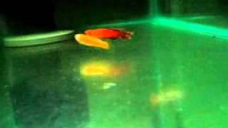 Aphyosemion australe 18SX