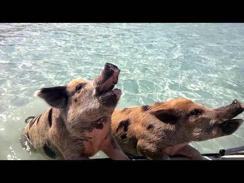 Pigs can swim!